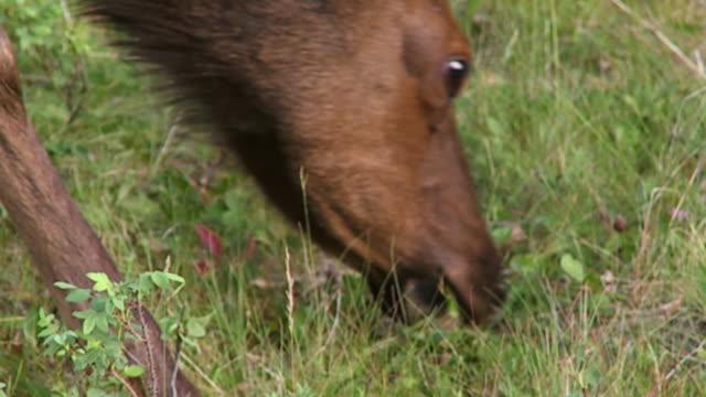 CU ZO WS Two female elks (Cervus canadensis) grazing in meadow, Jasper National Park, Alberta, Canada
