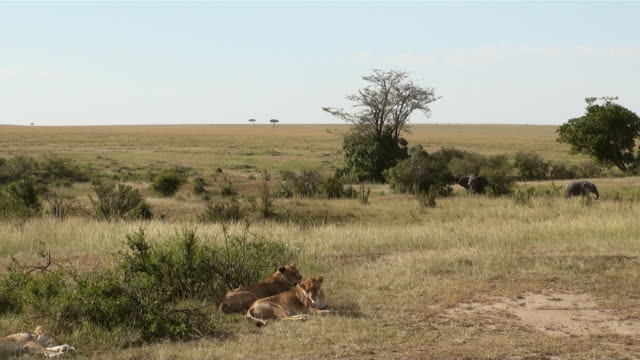 ms two female lion lying in grass and two elephants walking in masai mara national park audio / masai mara, rift valley, kenya  - komplett stock-videos und b-roll-filmmaterial