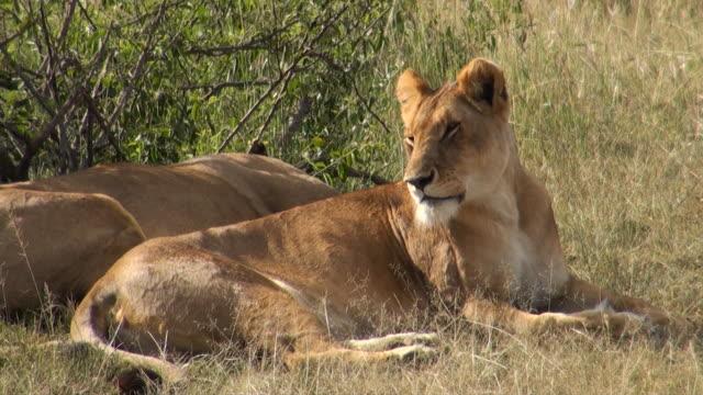 ms two female lion lying in grass at masai mara national park audio / masai mara, rift valley, kenya - komplett stock-videos und b-roll-filmmaterial