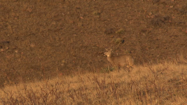 ms two female mule deer does walking across hill camouflaged in brown/burnt orange landscape grass - mule stock videos & royalty-free footage
