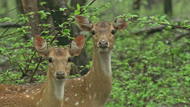 two female spotted deers staring at camera in rain forest, one of them leaving - medium shot - extreme weather stock videos & royalty-free footage