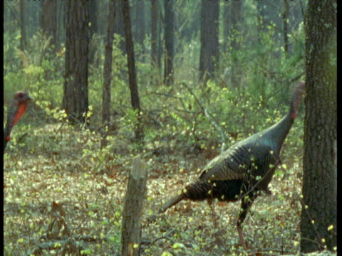 Two female wild turkeys walk in woods, USA