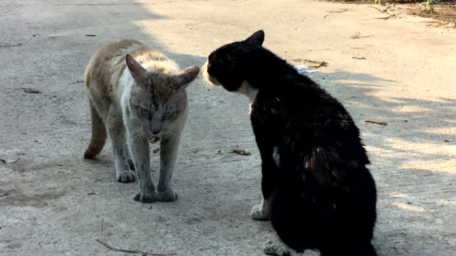 two feral cats preparing to fight - two animals stock videos & royalty-free footage