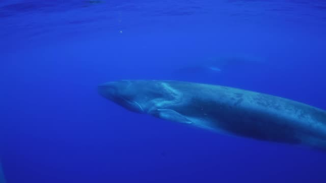 two fin whales, balaenoptera physalus, swimming near the surface, atlantic ocean, pico island, the azores, portugal. - blauwal stock-videos und b-roll-filmmaterial