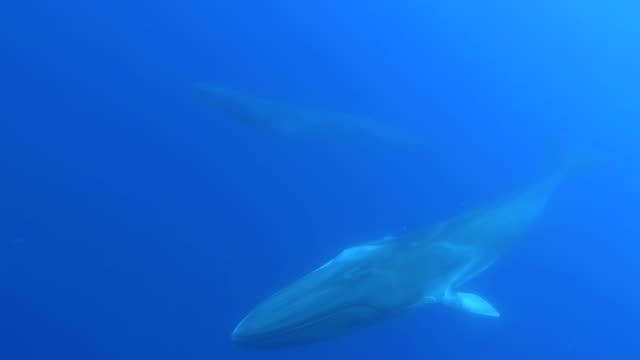 two fin whales, balaenoptera physalus, swimming near the surface approaching the camera, atlantic ocean, pico island, the azores, portugal. - whale watching stock videos & royalty-free footage