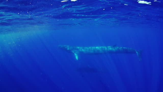 two fin whales swimming near the surface in the atlantic waters off pico island. - fin whale stock videos & royalty-free footage