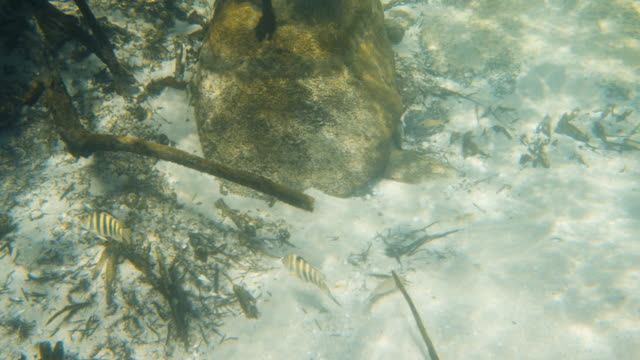 vídeos de stock e filmes b-roll de two fish swimming near dead mangrove roots - sargaço