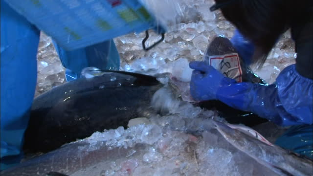 two fishermen shoving crushed ice into the body of bluefin tuna at sakai port captured in the morning - crushed ice stock videos & royalty-free footage