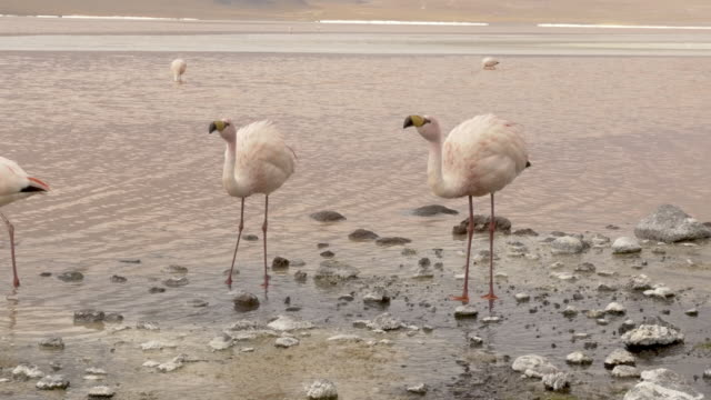 two flamingos close up - bolivian andes stock videos & royalty-free footage