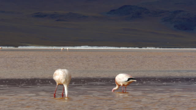 two flamingos feeding in a salt lake - bolivian andes stock videos & royalty-free footage