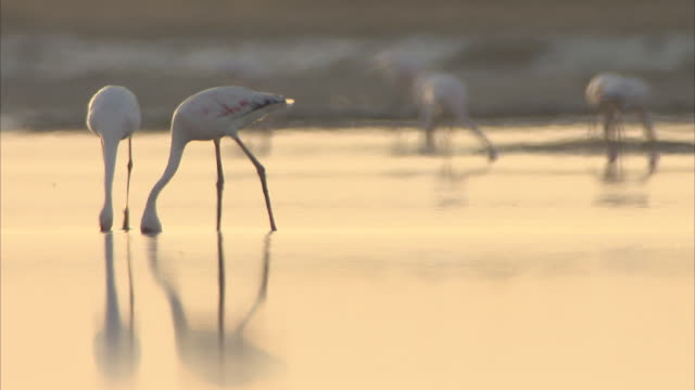 stockvideo's en b-roll-footage met two flamingos feeding in the salt flats walking in and out of shot at dusk - plankton