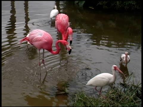 vidéos et rushes de deux flamants roses nourrir - groupe moyen d'animaux