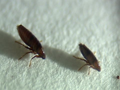 cu, two fleas - flea insect stock videos and b-roll footage