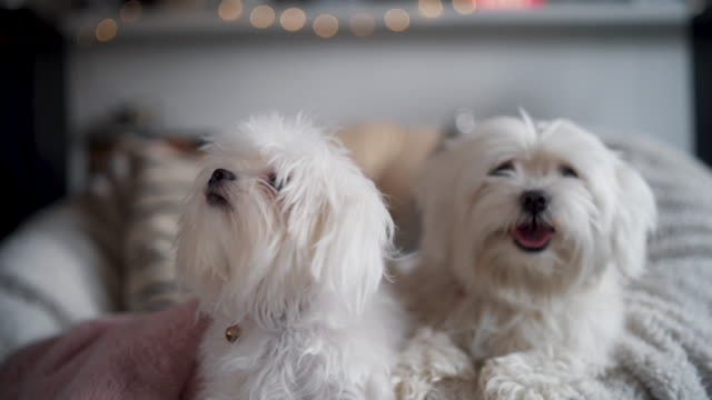 two fluffy maltese dogs - two animals stock videos & royalty-free footage