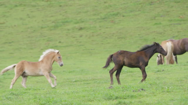 vídeos de stock e filmes b-roll de 4k: two foals running and playing on a meadow (super slow motion) - pastar