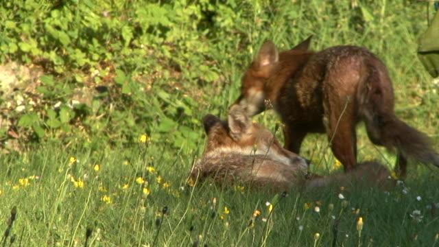 zwei foxes - surrey england stock-videos und b-roll-filmmaterial
