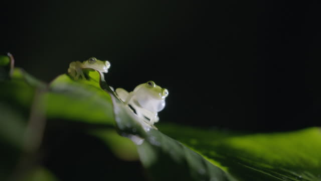 cu two frogs on green leaf / soberania national park, panama - two animals stock videos & royalty-free footage