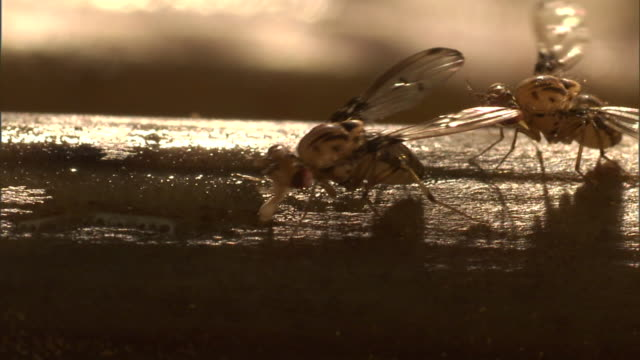 two fruit flies feed on a sticky surface. - gliedmaßen körperteile stock-videos und b-roll-filmmaterial