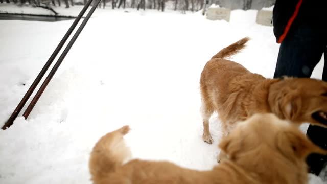 Zwei lustige goldene Retriever auf dem Schnee