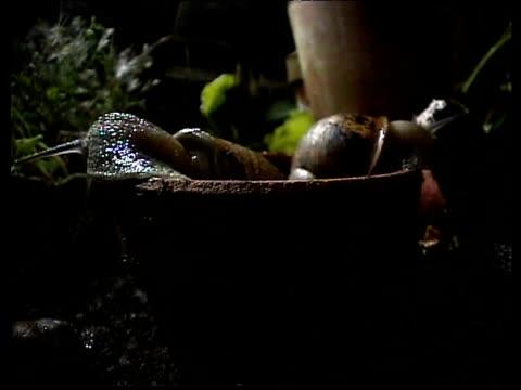 vídeos de stock, filmes e b-roll de two garden snails peer out of plant pot - gastrópode