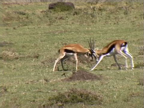 two gazelles fighting - herbivorous stock videos & royalty-free footage