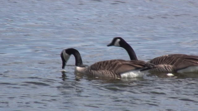 two geese 2 - hd 1080/60i - wildlife stock videos & royalty-free footage