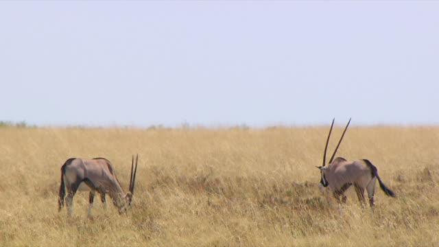 ms two gemsbok eating grass / northern cape, south africa - hooved animal stock videos & royalty-free footage