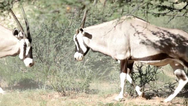 two gemsbok sparring, kgalagadi transfrontier park, south africa - 対立点の映像素材/bロール