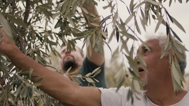 two generations of farmers handpicking olives from tree - orchard stock videos & royalty-free footage