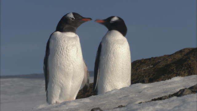 stockvideo's en b-roll-footage met ms, two gentoo penguins (pygoscelis papua) on snow, antarctica - dierenverzorging