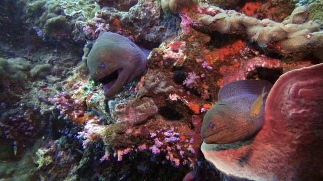 two giant moray eels (gymnothorax javanicus) in barrel sponge coral - gill stock videos & royalty-free footage