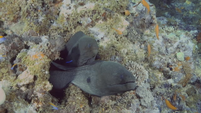 two giant moray peeking out from a hiding place in the coral - moray eel stock videos and b-roll footage