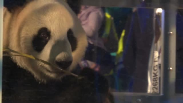 two giant pandas arrive by plane at amsterdam's schiphol airport after a marathon 8,000 kilometre journey from china the first breeding pair on dutch... - kilometre stock videos & royalty-free footage