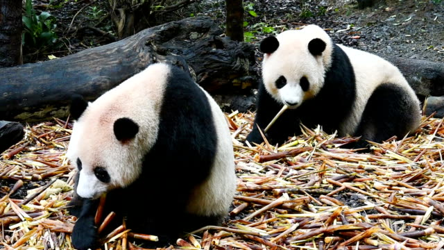 two giant pandas eat food - bamboo shoot stock videos & royalty-free footage