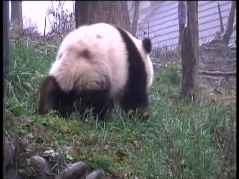 two giant pandas have arrived in edinburgh, scotland after a nine-hour journey from china. tian tian and yang guang arrived on a specially-chartered... - cute stock videos & royalty-free footage