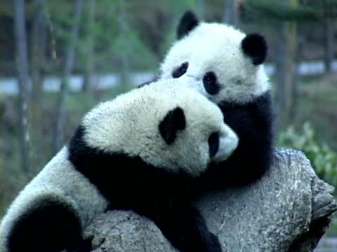 vídeos y material grabado en eventos de stock de ms, two giant pandas (ailuropodia melanoleuca) playing on tree trunk, chengdu, sichuan , china - panda animal