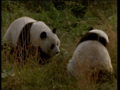 vidéos et rushes de two giant pandas squabble in grass - panda