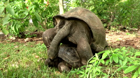 two giant tortoises mate in the forest. - landschildkröte stock-videos und b-roll-filmmaterial