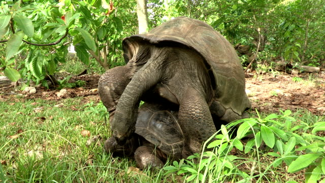 two giant tortoises mate in the forest. - tortoise stock videos & royalty-free footage