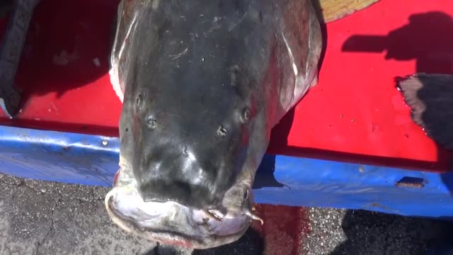 two giants pike fishes, which are weighted 60 kilogram and 75 kilogram with 1.60 cm and 180 respectively, takes attraction by locals after being... - angeln stock-videos und b-roll-filmmaterial