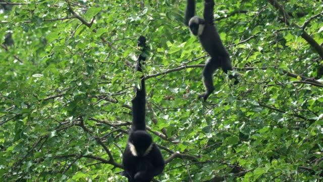 two gibon bialobrody or white-cheeked gibbon play and tease together - limb body part stock videos & royalty-free footage