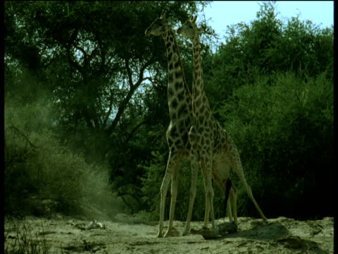 two giraffe push each other and swing their necks, namibia - impact stock videos & royalty-free footage