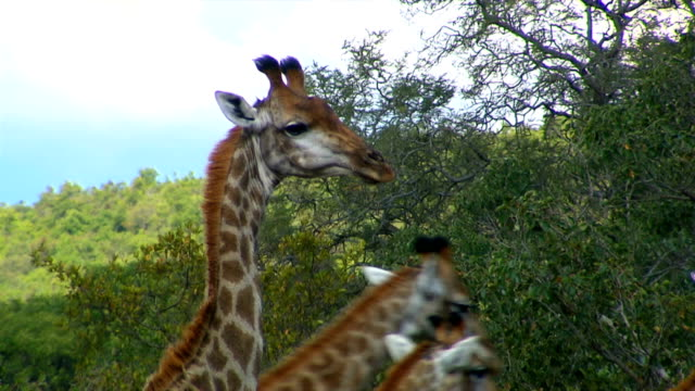 Two giraffes eating from a tree/ Entabeni Private Game Reserve/ South Africa