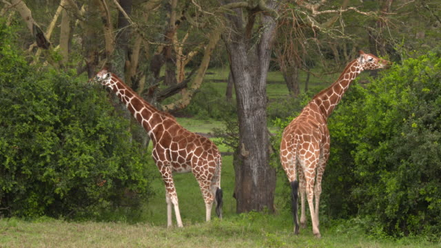Two giraffes eating from green bushes