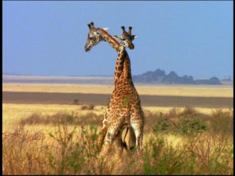 two giraffes fighting, pushing + twisting necks on grassy plain / serengeti, tanzania, africa - giraff bildbanksvideor och videomaterial från bakom kulisserna