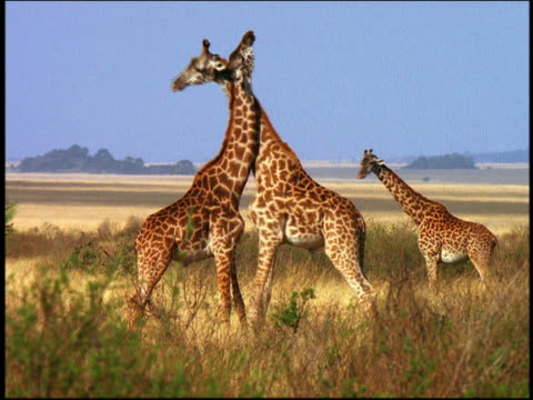 two giraffes fighting, pushing + twisting necks on grassy plain / giraffe in background / serengeti, africa - twisted stock videos & royalty-free footage