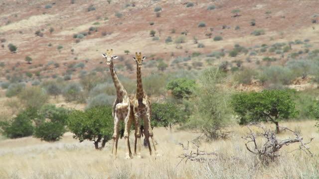 stockvideo's en b-roll-footage met ms two giraffes looking towards in grassy field / darmaland, kunene, namibia - wiese