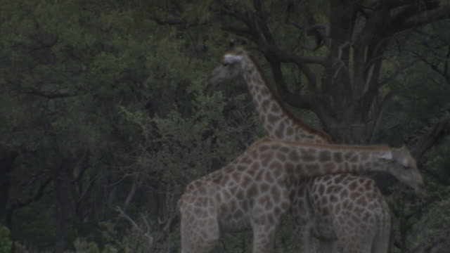 Two giraffes necking Plains Zebras grazing nearby other giraffe BG on the Okavango Delta plain trees BG Wildlife coexist mating courtship peace...