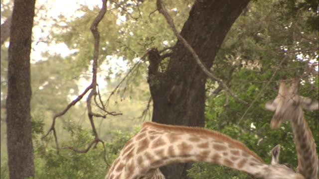 ms two giraffes swinging necks at each other walking out of sight on the okavango delta wildlife habit courtship mating season dominance safari - 攻撃的点の映像素材/bロール