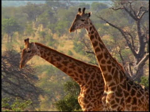 MS two giraffes twisting + swinging necks + pushing each other / Serengeti, Tanzania, Africa